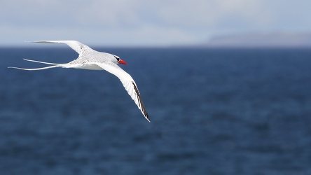 Red-billed Tropicbird, Plaza Sur