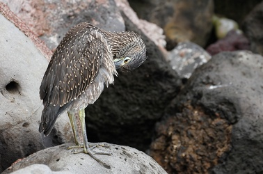 Yellow-crowned Night-Heron, Isla San Cristobal