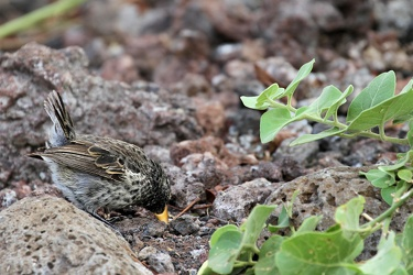 Large Ground-Finch, Isla San Cristobal