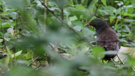 Paint-billed Crake, Isla Santa Cruz