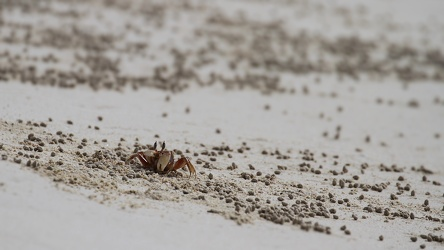 Ghost Crab, Las Bachas, Santa Cruz