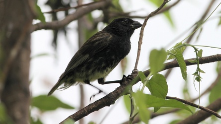 Medium Tree-Finch, Isla Floreana