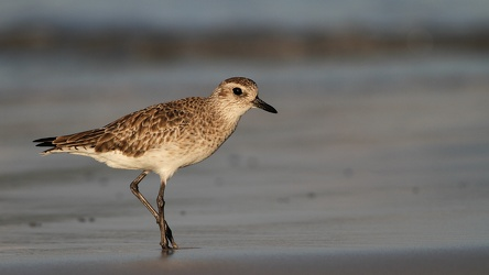 Black-bellied Plover, Isla Isabela