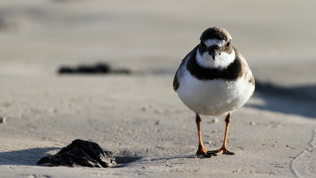 Semipalmated Plover, Isla Isabela