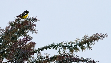 Black-backed Grosbeak, Riobamba