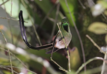 Black-tailed Trainbearer, Hostería San Jorge