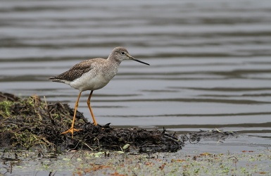 Lesser Yellowlegs, Volcán Antisana