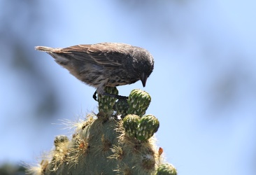 Small Ground-Finch, Isla San Cristobal