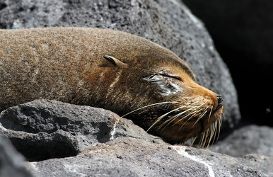 Galápagos Fur Seal, Seymour Norte