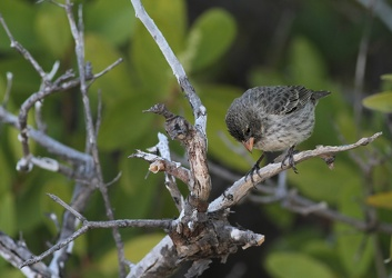 Small Ground-Finch, Las Bachas, Santa Cruz
