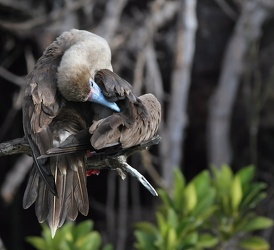 Red-footed Booby, Isla Genovesa