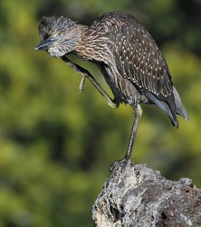 Yellow-crowned Night-Heron, Isla Genovesa