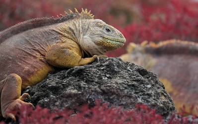 Land Iguana, Plaza Sur