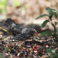 Medium Ground-Finch, Isla San Cristobal