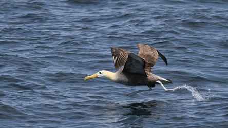 Waved Albatross, San Cristobal waters