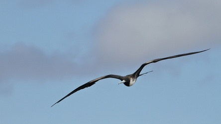 Magnificent Frigatebird, Seymour Norte