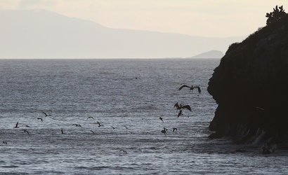 Brown Noddy & Brown Pelican, Seymour Norte