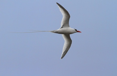 Red-billed Tropicbird, Isla Genovesa