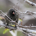 Sharp-beaked Ground-Finch, Isla Genovesa