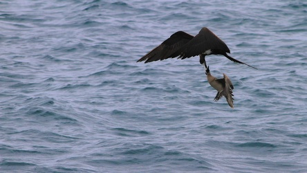 Red-footed Booby  & Great Frigatebird, Isla Genovesa