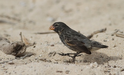 Small Ground-Finch, Isla Santa Fe