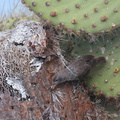 Common Cactus-Finch, Plaza Sur
