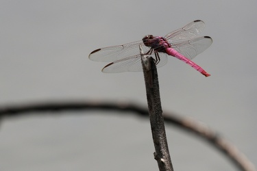 Dragonfly - Orthemis ferruginea