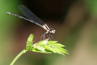 Damselfly - Argia translata