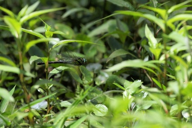 Dragonfly - Remartinia luteipennis