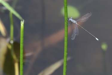 Damselfly - Lestes sp?