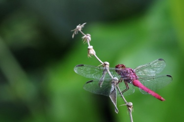 Dragonfly - Orthemis discolor