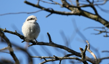 Stor Tornskade / Great Grey Shrike