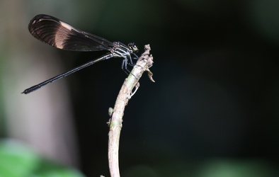 Damselfly - Polythore ornata
