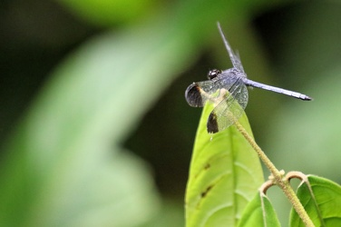 Dragonfly - Uracis sp.?